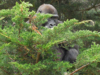 gorilla_kenjuk